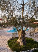 stock photo of olive trees  - Landscape od a garden with Mediterranean olive olive tree Italy - JPG