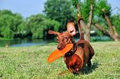 Dog breed standard smooth-haired dachshund, bright red color. poster