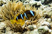 picture of damselfish  - Anemone fish (Amphiprion bicinctus) ) in the soundback with anemone.Coral reef Red Sea Egypt ** Note: Soft Focus at 100%, best at smaller sizes - JPG