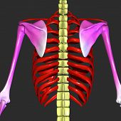 stock photo of mandible  - The bones of the chest and upper back combine to form the strong - JPG