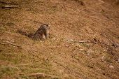 picture of marmot  - A curious marmot watching out his lair - JPG