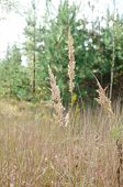 picture of fescue  - Meadow fescue at the forest border in early autumn - JPG