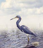 image of wetland  - Tricolored Heron In Florida Wetland - JPG