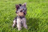 picture of yorkshire terrier  - Cute Yorkshire terrier puppy - JPG