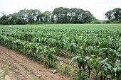stock photo of corn stalk  - Rows of knee high corn planted in neat rows in early summer - JPG