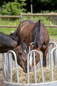 stock photo of horses eating  - brown Holsteiner horses standing on a hay rack and eat hay - JPG