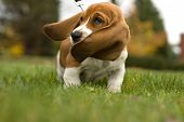 Basset Hound Ear'S Blowing In The Wind