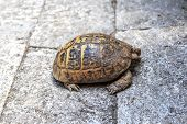 picture of testudo  - Close up detailed side view of tortoise walking in the stone garden - JPG