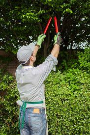 stock photo of prunes  - Professional gardener pruning a tree - JPG