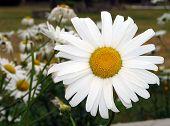 White Daisy Wheel 1