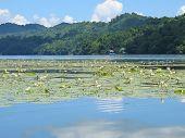 Waterlily On The Rio Dulce, Livingston, Guatemala