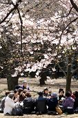 Japanese Women Drinking Tea Under Cherry Blossom