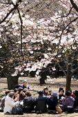 Japanese Women Drinking Tea Under Cherry Blossom