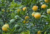 Poncirus Trifoliata. Japanese Bitter Orange. Hardy Orange. Trifoliate Orange. Citrus Tree. Chinese B poster