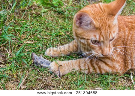 Ginger Cat With Dead Mouse