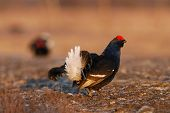 Black Grouse Playing