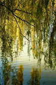 stock photo of weeping willow tree  - weeping - JPG