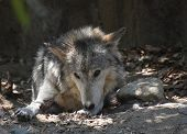 Beautiful Resting Timber Wolf And Licking His Front Paw. poster