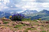 Colorado Wildblumen