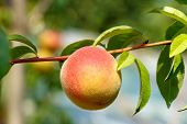Peach Hanging From Limb Of Peach Tree In Orchard During Summer poster