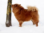 Chow Chow Dog And Tree poster
