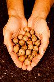 Man hands full of walnuts