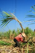 Man harvesting the sugarcane crop