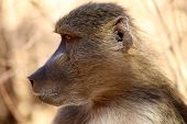 The Baboons Of Zambia Near The Livingstone Falls Are Curious, Cute But Very Naughty.  Portraits Of A poster