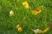 Fresh Green Grass With Dew Drops Close Up. Green Grass Background. Close Up Grass In Forest After Ra poster
