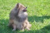 Spitz Is A Decorative Breed Of Dogs. Spitz Breeds Of Dogs, Characterized By Sharp Ears, Upturned Tai poster