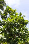 The Ripe Breadfruits Hanging At The Tree. There Are Many Breadfruit Trees Around. The Day Is Sunny A poster