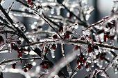 berry bush encased in ice