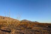Ocotillo Cactus in Desert Landscape Setting