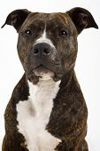 image of pit-bull  - a pretty american staffordshire terrier in the studio - JPG