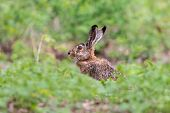 European Hare Sitting In The Grass With Blurred Green Background. Brown Hare (lepus Europaeus) Has E poster