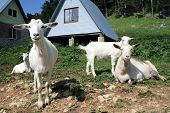 Herd Of The Nanny Goats