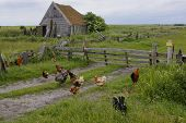 Old farmhouse with chickens