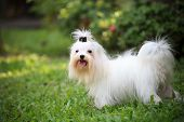 white maltese dog standing in home garden