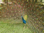 image of un-real  - imagen hermosa  de  un pavo real en su  esplendor - JPG