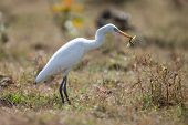 Cattle egret with grasshopper
