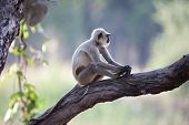 Common Langur Moneky in India
