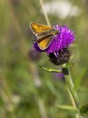 Large Skipper Butterfly And Knapweed Flower