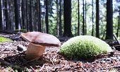 pic of bolete  - Bay Bolete is an edible mushroom from Europe and North America - JPG