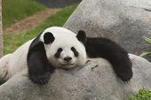 stock photo of endangered species  - Giant panda bear sleeping in the zoo - JPG