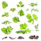 Coriander, parsley, dill and basil
