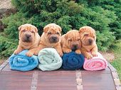 Sharpei Puppies