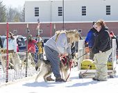 Husky Getting Ready To Go At Dog Pulling Sled Competition