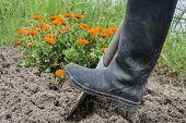 Digging Spring Soil With Shovel
