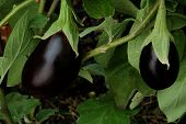 picture of brinjal  - Two eggplants growing side by side - JPG