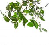 Brunch von Gras-grüne Zimmerpflanze Cissus. isoliert auf weißem Hintergrund